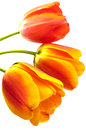 Three gradient warm color tulip Royalty Free Stock Image