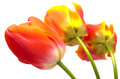 Three gradient warm color tulip Royalty Free Stock Photography