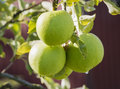 Three Granny Smith Apples in the Morning Sun Royalty Free Stock Photo