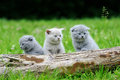 Three gray kitten on tree Royalty Free Stock Photo