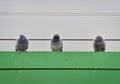 Three gray pigeons Royalty Free Stock Photo