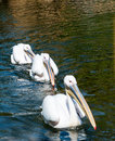 Three great white pelicans close up of swimming in formation Royalty Free Stock Image