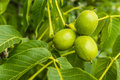 Three green fruits walnut group of young juglans regia l persian english Royalty Free Stock Image