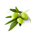 Three green ripe olives on branch
