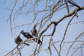 Three Grey go-away-birds Corythaixoides concolor sitting on a Tree Royalty Free Stock Photo