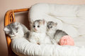 Three grey kittens Royalty Free Stock Photo