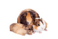 Three Guinea Pigs Royalty Free Stock Photo