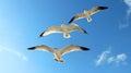 Three Gulls Flying Royalty Free Stock Photo