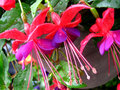 Three hanging bi color fuchsia red purple and flowers in full bloom hang down from a basket Stock Photos