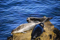Three harbor seals sunning themselves on a rock in monterey bay california Royalty Free Stock Photography