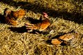 Three hens on straw brown chickens sitting surface in sun and shadow Royalty Free Stock Images