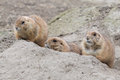Three hiding prairie dogs genus cynomys behind a hillock while being alert Stock Photo