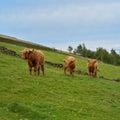 Three Highland Cattle Bulls Royalty Free Stock Photo