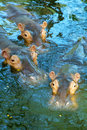 Three hippos in water Stock Image