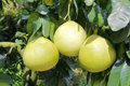 Three honey pomelos Royalty Free Stock Photo
