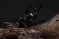 Three-Horned Beetle (Chalcosoma caucasus) Royalty Free Stock Photo