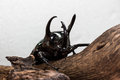 Three-Horned Beetle (Chalcosoma caucasus) Royalty Free Stock Photo