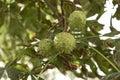 Three horse-chestnut seeds hanging on tree Royalty Free Stock Photo