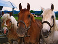 Three horses. Royalty Free Stock Images