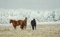 Three horses on the field in winter Stock Images