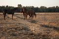 Three horses over two side of an improvised fence in the middle of a field in the hourse of the late afternoon very close to Stock Image