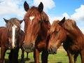 Three horses on the pasture Stock Photo