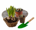Three hyacinth in basket and garden tools isolated on white back