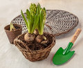 Three hyacinth in basket and shovel Royalty Free Stock Photography