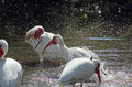 Three ibis bathing in a pool in Florida. Royalty Free Stock Photo