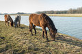 Three Icelandic horses grazing in a Dutch nature reserve Royalty Free Stock Photo