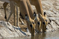 Three Impalas drinking water Royalty Free Stock Photo