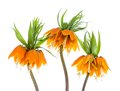 Three Imperial Crown (Fritillaria Imperialis) isolated on white background Royalty Free Stock Photo