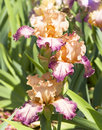 Three irises of pink and purple colours Royalty Free Stock Photo
