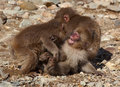 Three Japanese macaque younsters playing Royalty Free Stock Photo