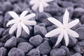 Three jasmine flowers on zen stones close up Stock Photos