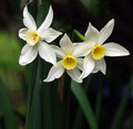 Three Jonquils Royalty Free Stock Photography