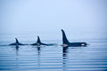 Three killer whales with huge dorsal fins at vancouver island resident coastal fish eaters whale or orca orcinus orca johnstone Stock Photography