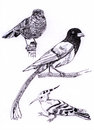 Three kind of birds sketch painting illustration Stock Photography