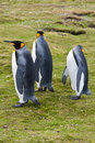 Three king penguins look in different directions Royalty Free Stock Image