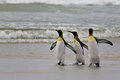 Three king penguins are on the sandy shores of the ocean and their wings Royalty Free Stock Photo
