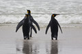 Three king penguins stand on the beach and watch the waves Stock Images