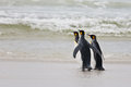 Three king penguins stand on the shore of the ocean Stock Photos
