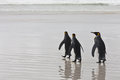 Three king penguins stand at the water on the ocean coast Stock Photography