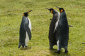 Three king penguins stays on the green grass volunteer point falkland islands Stock Photo