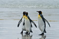 Three king penguins stays on the wet sand beach volunteer point falkland islands Stock Image