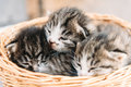 Three kitten cute baby are sitting in a basket Stock Photography
