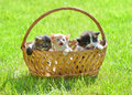 Three kittens on green meadow sitting in basket Royalty Free Stock Photo