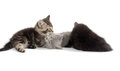 Three kittens playing cute shorthair on white background Stock Photography