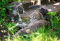 Three kittens playing in the grass Royalty Free Stock Photo