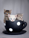 Three kittens sitting in large cup Royalty Free Stock Photo